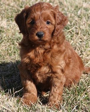 10 50 Lb Mini Goldendoodle Puppies
