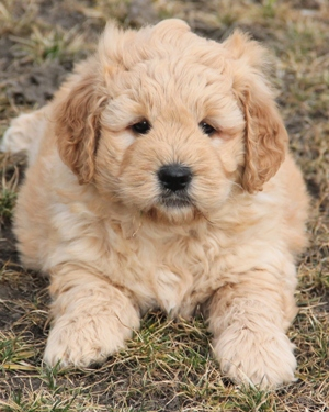 3 Types Of Mini Goldendoodles Colors Sizes And Coats Explained