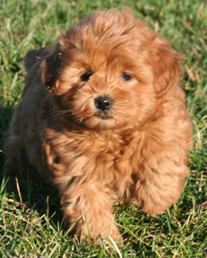 Miniature Mini Goldendoodle