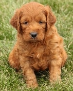 mini irish goldendoodle from the past