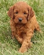 Dark Red | Mini Irish Goldendoodle Puppies