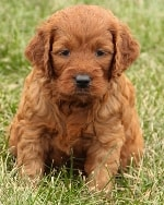 puppy and red ... mini irish goldendoodle