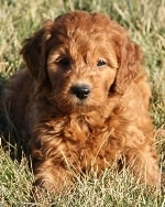 red goldendoodle developing curl