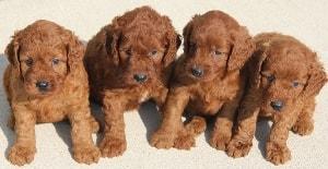 10-50 lb Mini Goldendoodle Puppies | Red Irish Colors