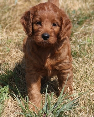 dark red F1 mini irish goldendoodle