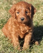 Dark Red Mini Irish Goldendoodle Puppies