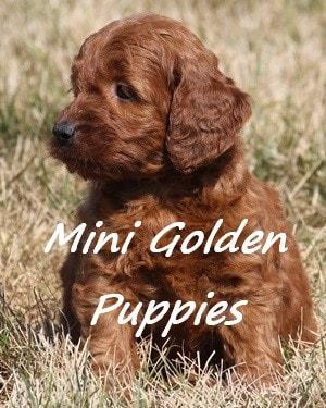 Mini Golden More Information