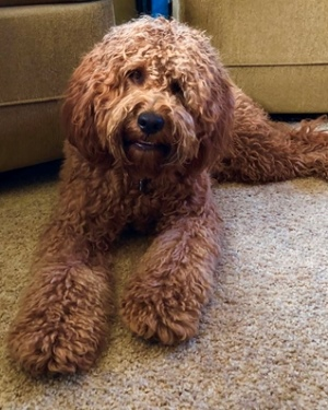 Adult Mini Goldendoodle And Mini Irish Goldendoodle Pictures