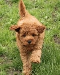 going now mini goldendoodle