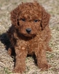 burnt flavor miniature goldendoodle