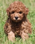 curly miniature goldendoodle