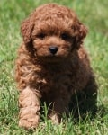 curl..ly mini goldendoodle puppy
