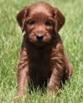 mahogany mini irish goldendoodle