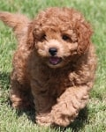 play mini goldendoodles