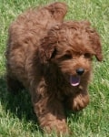 personality mini goldendoodle