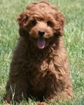 ruby mini goldendoodle