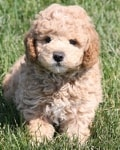 are you sure mini golden doodle