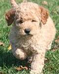 blonde mini goldendoodle puppy