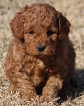 red mini goldendoodle puppy