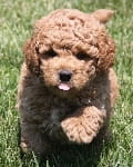 light golden mini goldendoodle