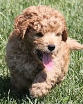 light golden mini goldendoodle puppy