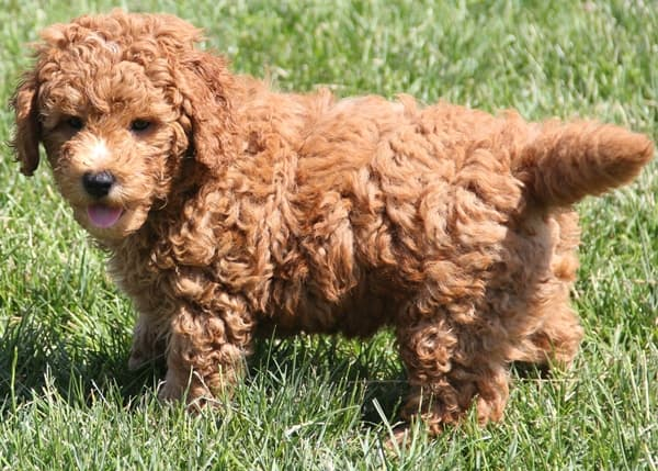 10 50 Lb Mini Goldendoodle Puppies Red Irish Colors