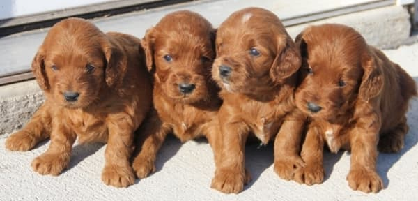 mini irish goldendoodle puppies for sale