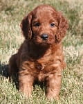 mini irish goldendoodle puppy
