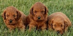 mini irish goldendoodle puppies ready in December