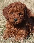 red moyen poodle puppy